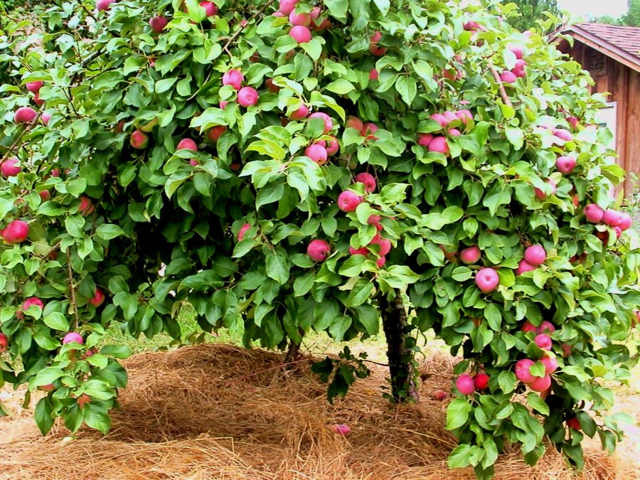 Best Crab Apple Tree For Deer